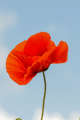 Single flower of wild red poppy on blue sky background with focus on flower