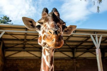 The head of a giraffe