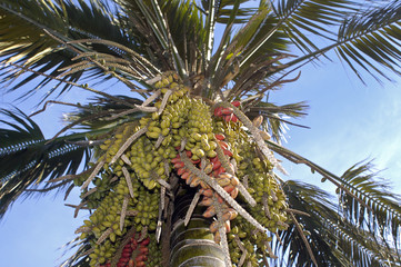 palmtree with fruits