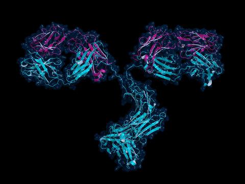 IgG antibody, cartoon model with semi-transparent surface.