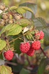 Rubus idaeus Glen Ample