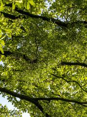 Oak tree, mistletoe