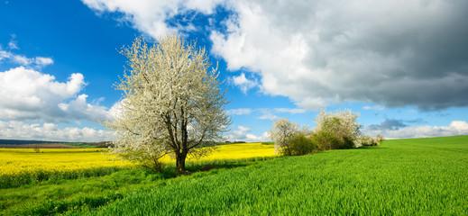 Wall Mural - Landschaft im Frühling, Kirschbäume in voller Blüte, grüne Wiese, Rapsfeld
