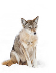 A lone Coyote isolated on a white background sitting in the winter snow in Canada