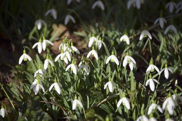 First spring messenger - snowdrops