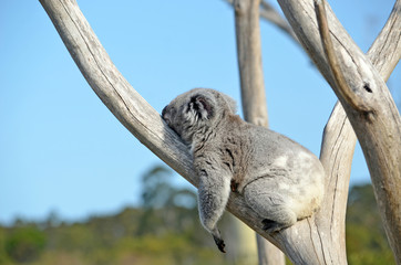 Australian Koala (Phascolarctos cinereus) sleeping on stomach in a gum tree. Iconic marsupial mammal of Australia