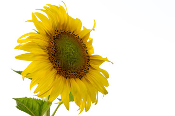 Sunflower isolated white background with copy space for text.