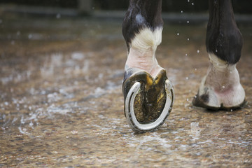 Close up of a horses hoof with a new horse shoe.