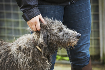 Scottish Deerhound standing next to person