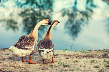 Two gooses walking on the lake shore