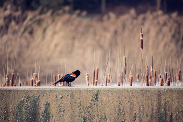 red winged blackbird sitting on a cement wall
