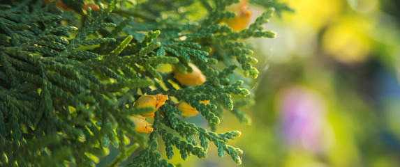 Green thuja tree branches close up over blurred nature background. Spring Background with bokeh. Wall mural