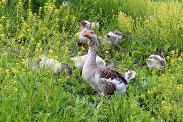 Flock of domestic geese walking on pasture in summer. Rural scene.