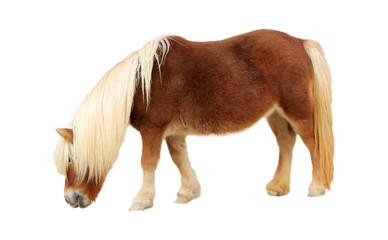 Palomino Shetland pony