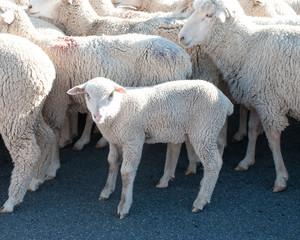 sheep on parade