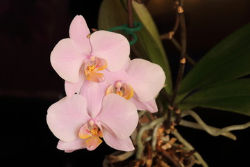 Branch of the orchid flowers