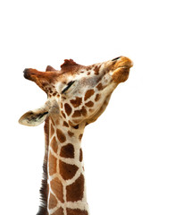 Humorous Giraffe isolated on white background