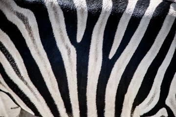 Zebra zbliżenie