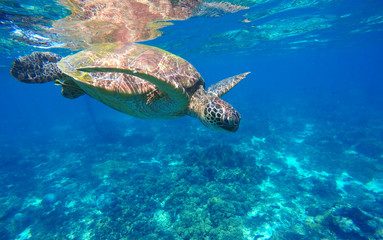 Underwater sea turtle close photo. Green tortoise in blue lagoon. Lovely sea turtle closeup.