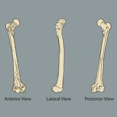 Thigh Bone Anatomy Vector