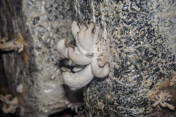 Young oyster mushrooms, growing from the substrate