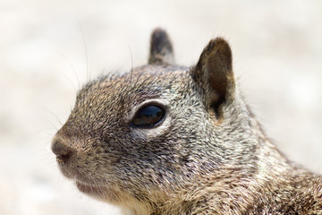 Close-up Squirrel