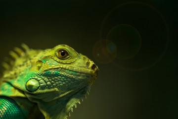 Macro of green iguana