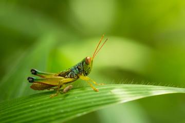 Grasshopper on blade of grass macro