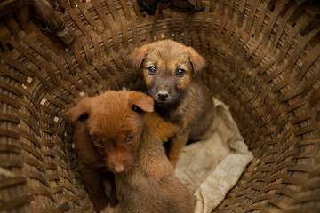 Puppies for sale in market - Sa Pa,Vietnam