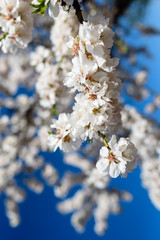 Spring flowering branches, white flowers,  blossoms Almond close