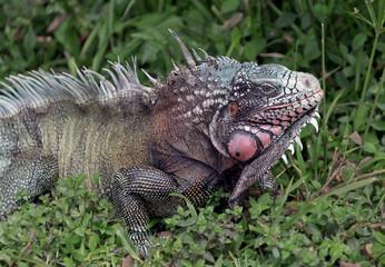 Big iguana on the road in the El Cedral - Los Llanos, Venezuela