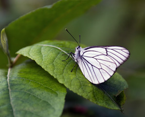 White butterfly on a green leaf