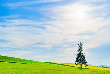 北海道美瑛の丘 クリスマスツリーの木