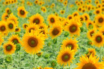 Sunflower, field of yellow sunflowers.
