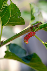 Mulberry berries ripen on a tree, Closeup