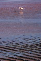 Flamingo in der Laguna Colorada, Bolivien