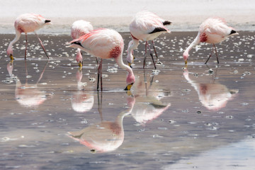 Flamingos im Bolivianischen Altiplano