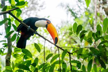 In de dag Toekan prächtiger Tukan im Bolivianischen Amazonas-Regenwald