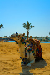 Egyptian camel lies on the yellow sand.