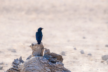 Blue iridescent bird, cape glossy starling, on a tree in Etosha national park, Namibia, Africa