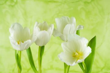 Vier weiße Blüten von Tulpen mit grünem Hintergrund, Nahaufnahme, Makro