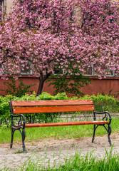 Sakura tree blossom in garden at springtime
