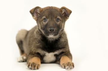 Half-breed shepherd puppy