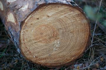 Cut pine trunk
