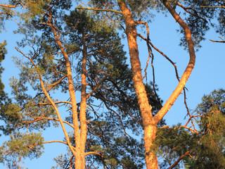 оранжевые стволы сосен на закатном солнце на фоне яркого голубого неба
