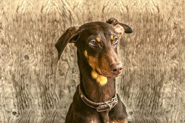 Young yellowish brown Doberman  at the door from is not painted plywood
