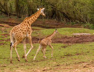 Dalton-in Furness, Cumbria, UK. 19th April 2015. Mother and baby Giraffe enjoying a walk around the South lakes safari park, Dalton-in-furness, Cumbria, UK