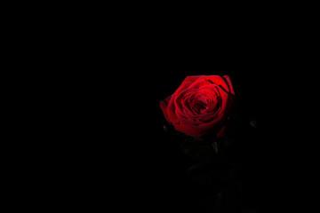 Czerwona róża na czarnym tle