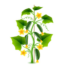 Growing cucumber plant isolated on white vector