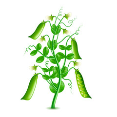 Growing peas plant isolated on white vector